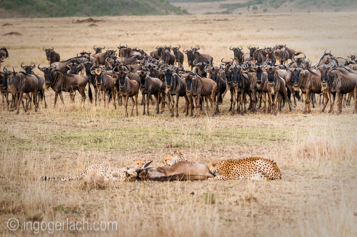 Geparden auf Jagd_IGB3046