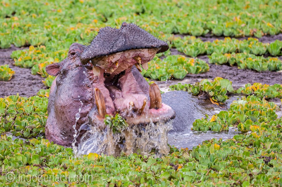 Flusspferd im Salat_IGB4566