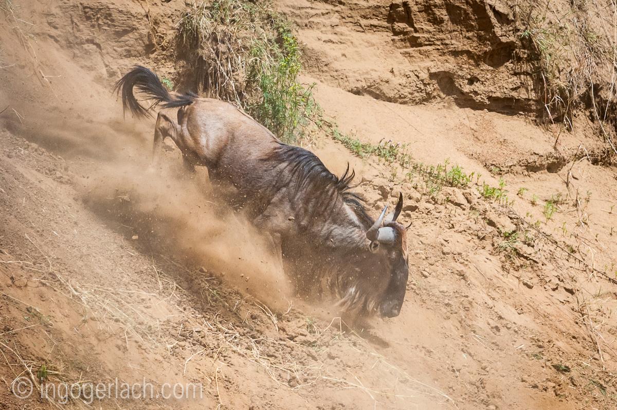 Gnu | Wildebeest_IWG4371