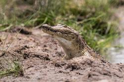 Krokodil_und_Tilapia_D8N_4984