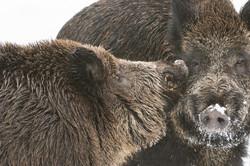 Wildschweine © Ingo Gerlach_D4N_3429