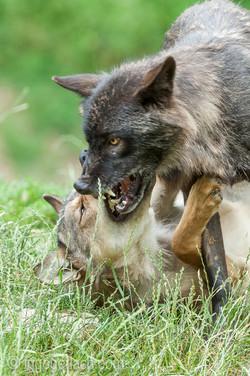 Timberwolf und Grauwolf_IGB8002