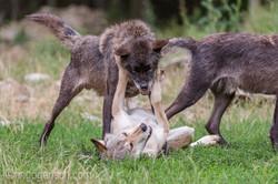 Timberwolf und Grauwolf_IGB8088