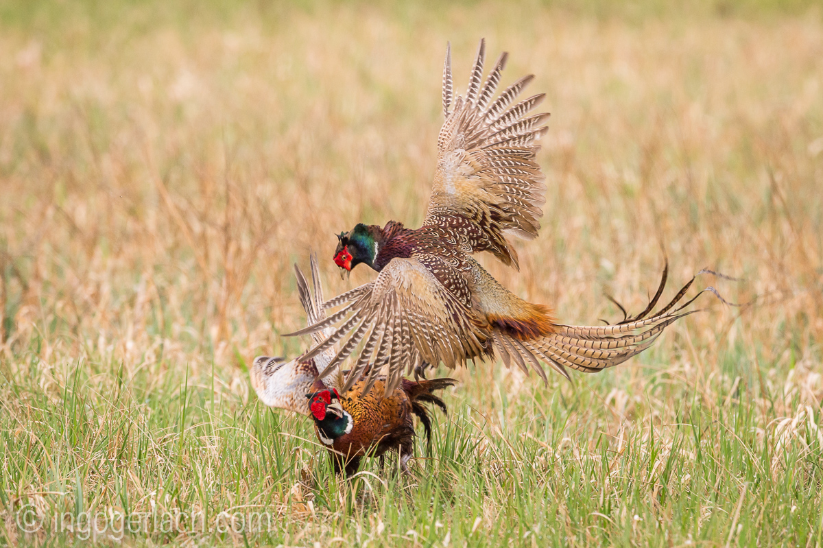 Fighting Pheasants...