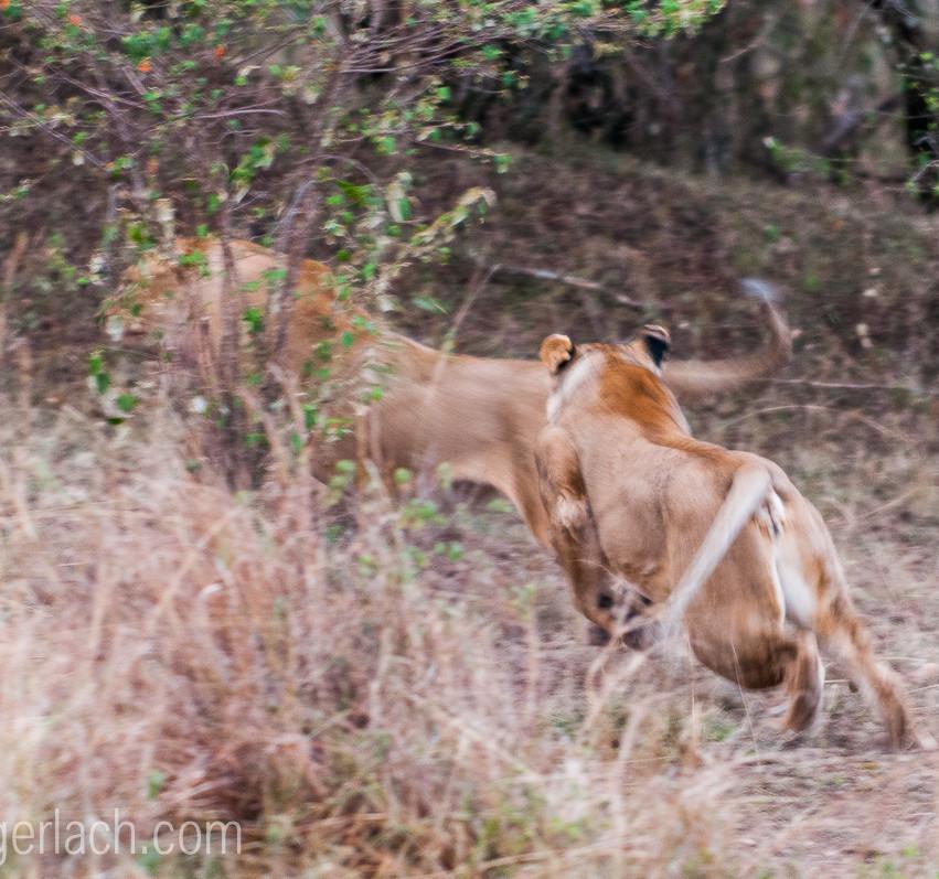 Löwin attackiert Löwin_IGB2598