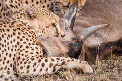 Geparden auf Jagd_IG37642