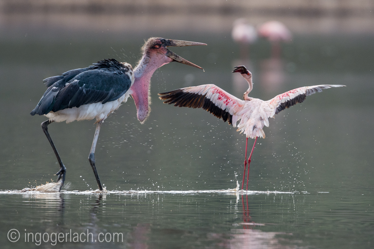 Marabu vs Flamingo_D722035