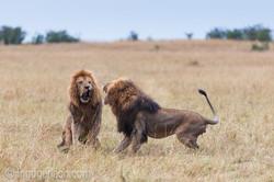Löwen: Kampf der Giganten_D3X8139