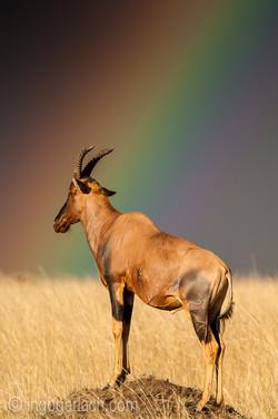 Over the Rainbow_Topi_IGB5116