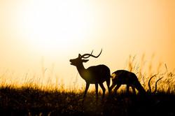 Impalas © Ingo Gerlach_D4N_2766