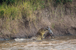 Krokodil frisst Zebra_D4N_5039