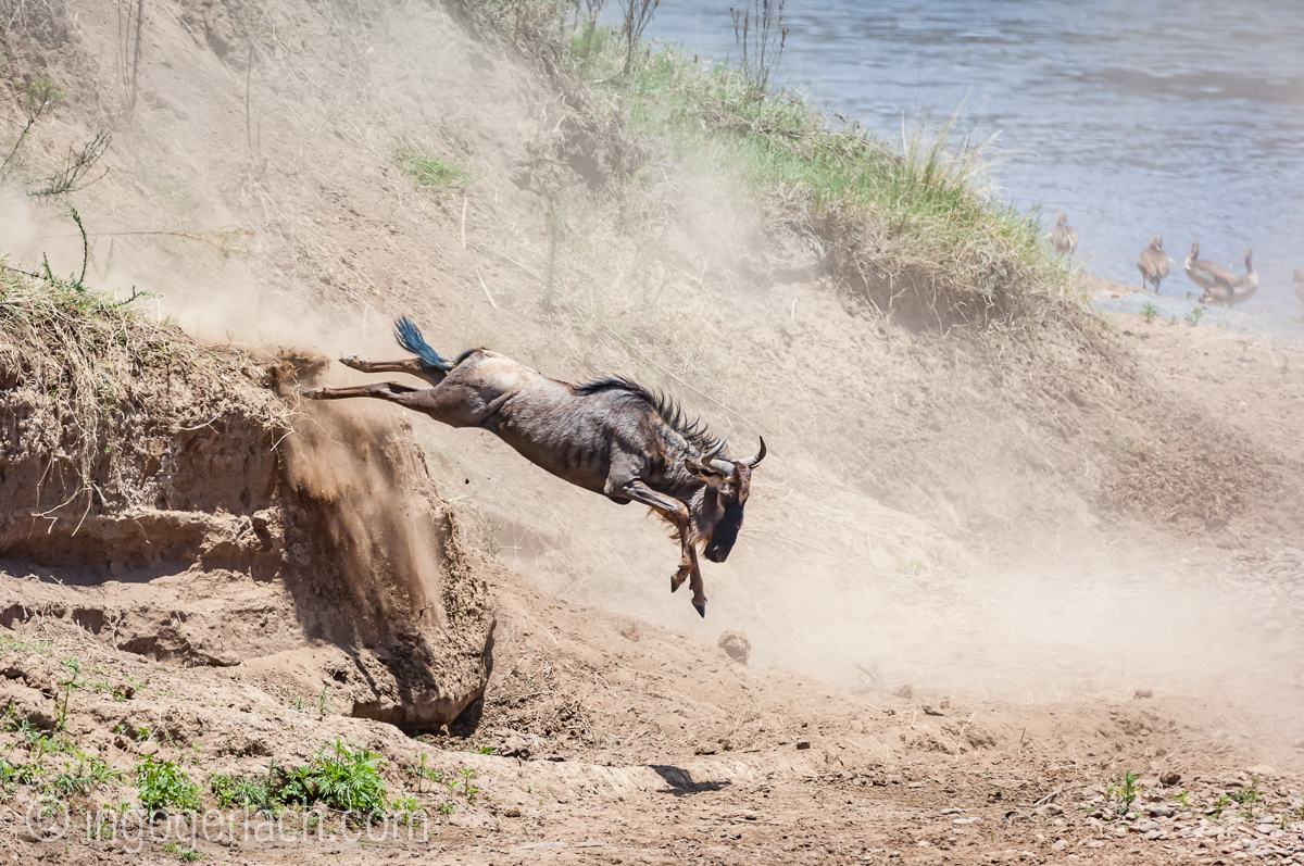 wildebeest jump to death_IWG4798