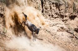 wildebeest jump to death_IWG4404