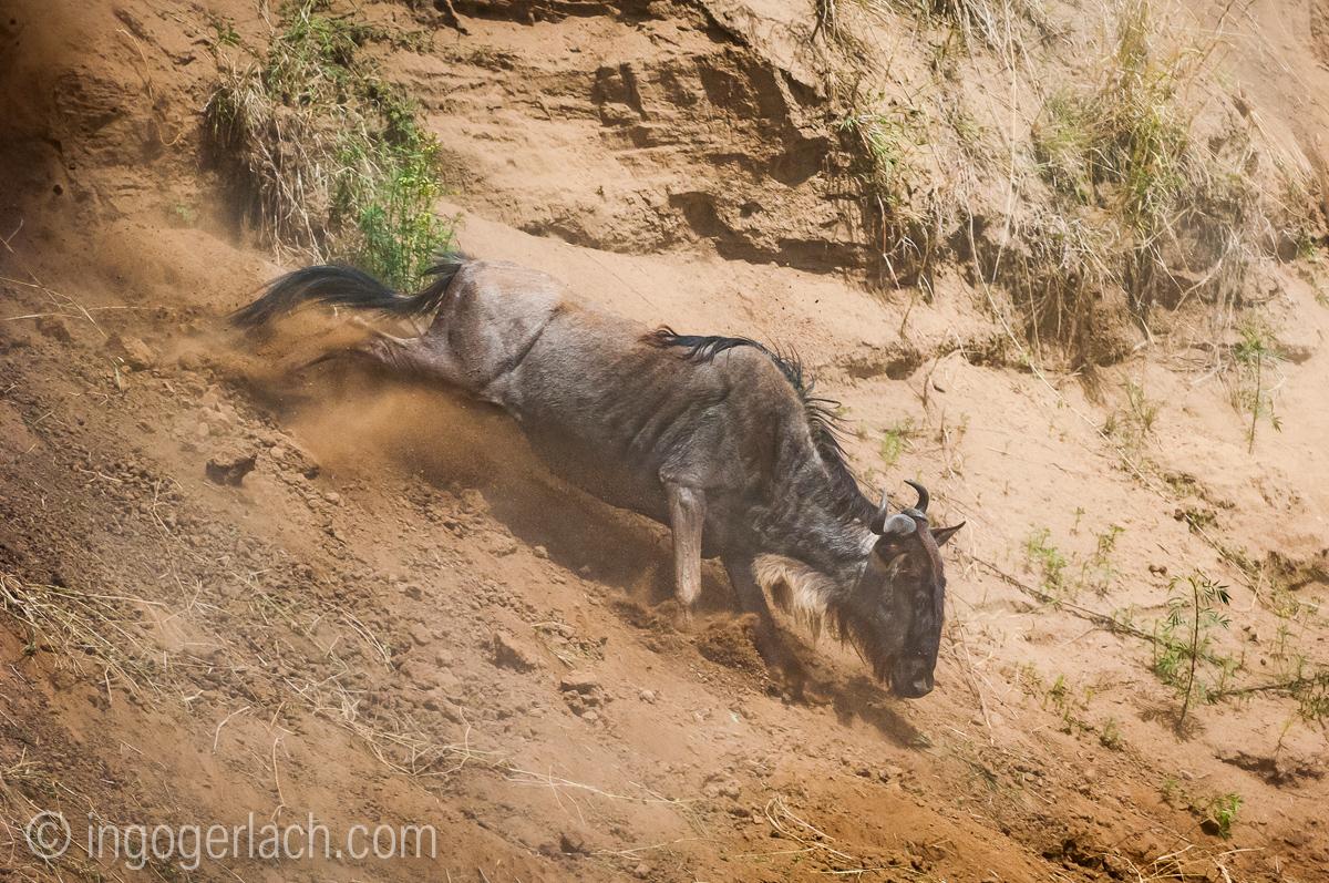 Gnu | Wildebeest_IWG4377