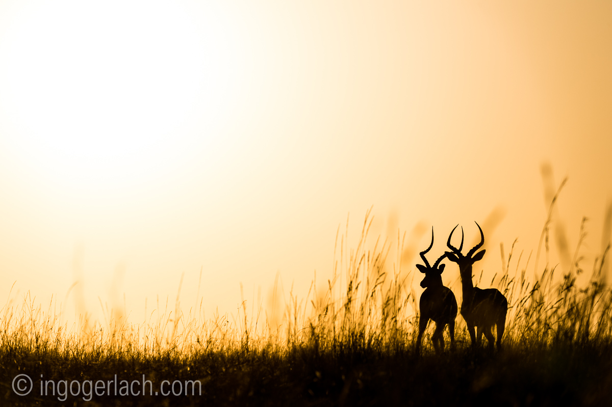 Impala at sunrise_D4N_2849