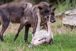 Timberwolf und Grauwolf_IGB8084