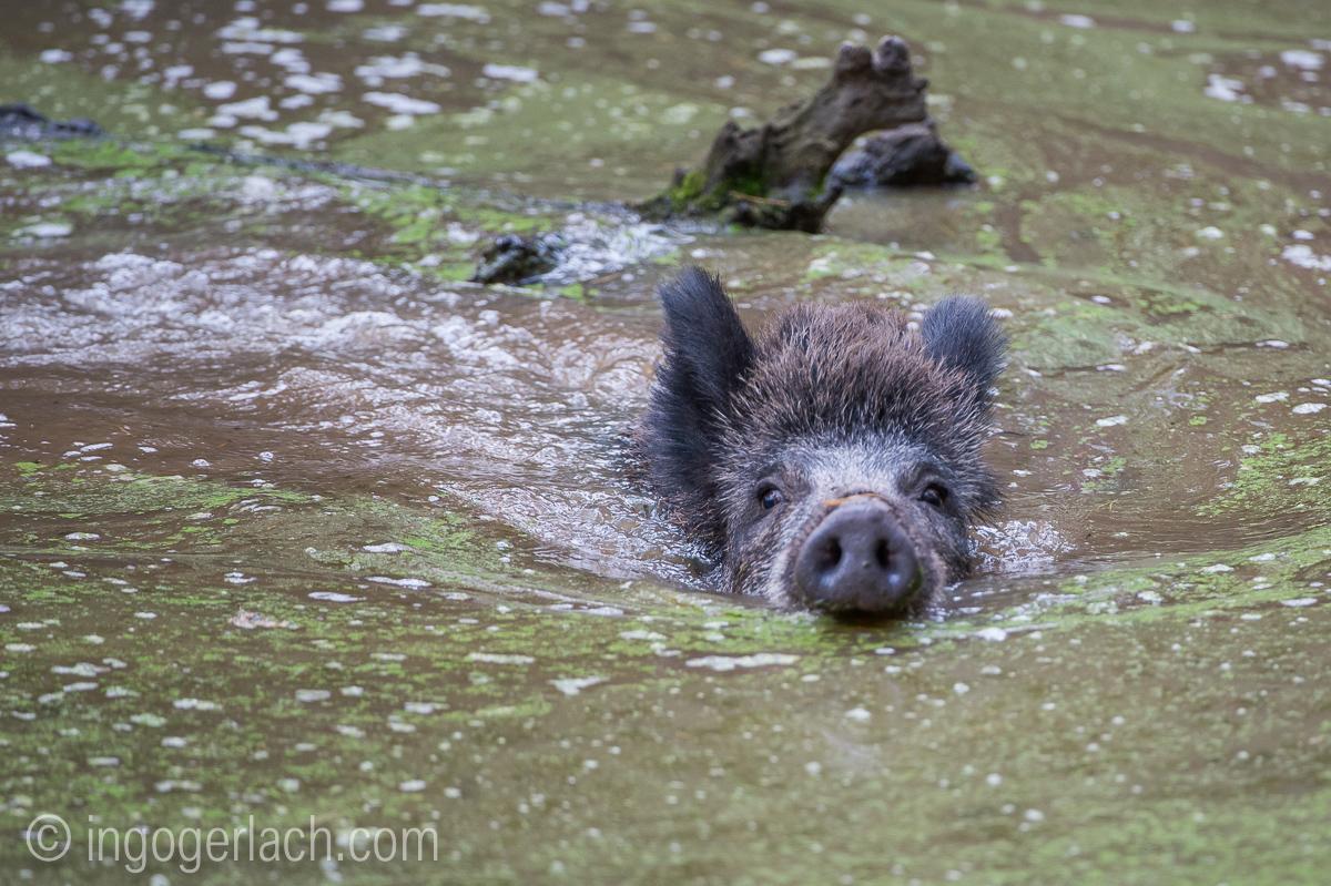 Wildschwein im Wasser_D4N8352