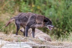 Timberwolf und Grauwolf_IGB8078