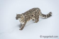 Schneeleopard_Snowleopard_D4N_6362