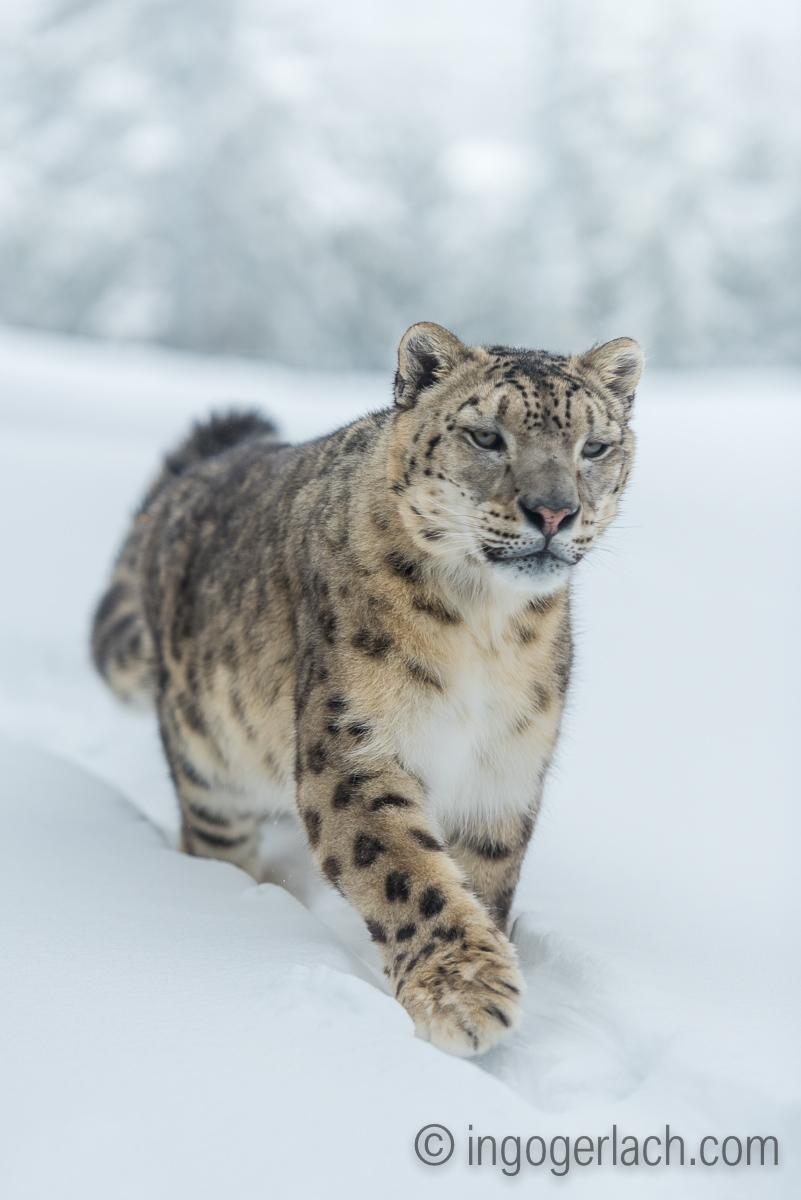 Schneeleopard_Snowleopard_IG7_1386