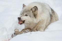 Wolf © Ingo Gerlach_D3S2647