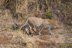 Mama Leopard mit ihren Babys_IG35675