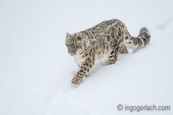 Schneeleopard_Snowleopard_D4N_6328