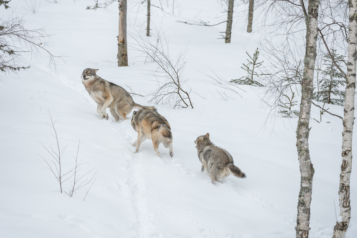 Wölfe © Ingo Gerlach_D4N_6415