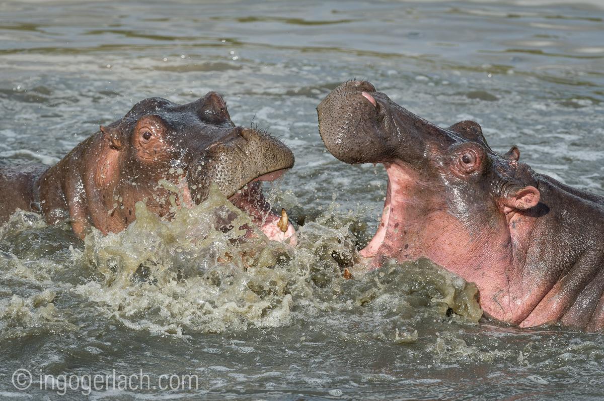 Hippos palavern_D3S7892