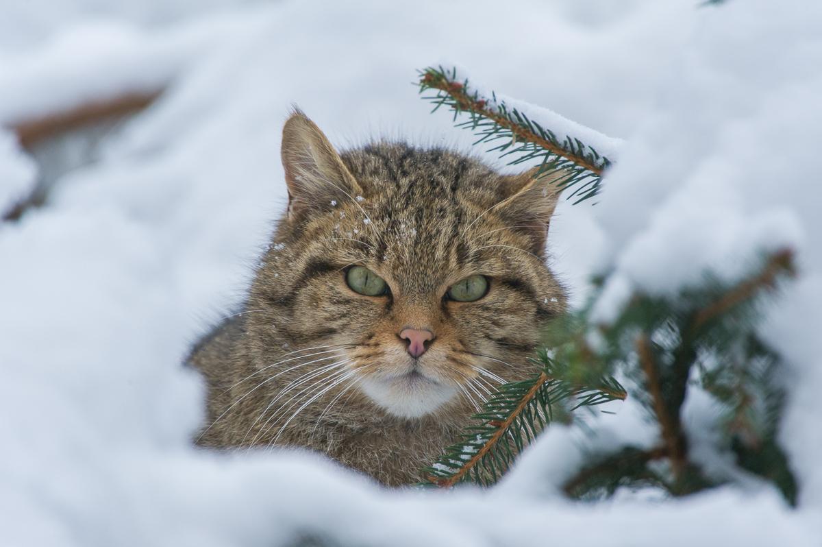 Wildkatze © Ingo Gerlach_D3S2524