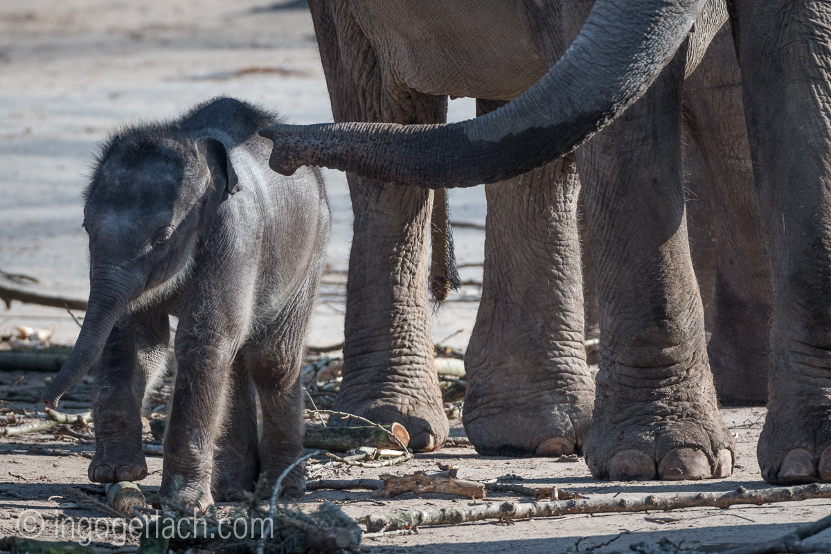 Baby_elephant_Zoo_Cologne_D50_2748