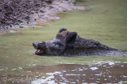 Wildschwein im Wasser_D4N8305