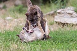 Timberwolf und Grauwolf_IGB8091