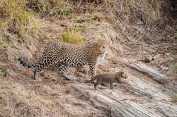 Mama Leopard mit ihren Babys_IG35695
