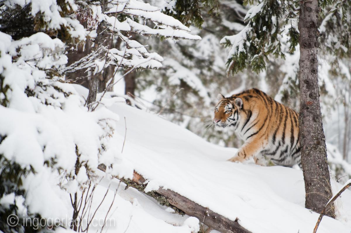 Sibirischer Tiger_IG34814