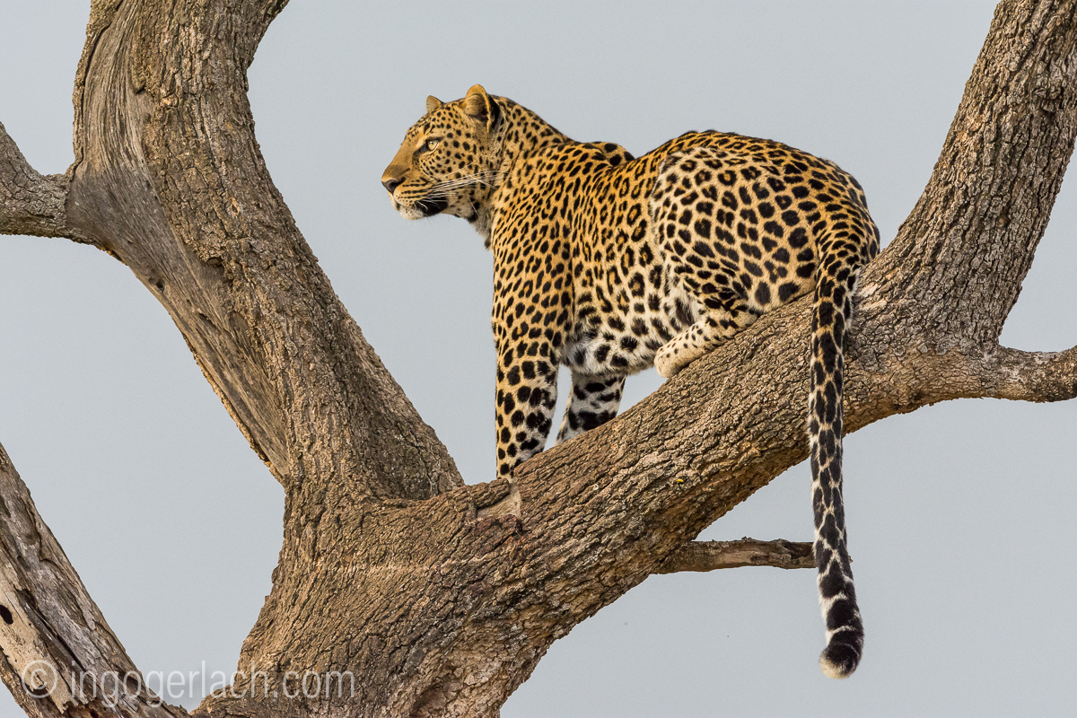 Leopard__D722696