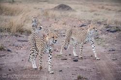 Geparden auf Jagd_IG37573