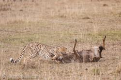 Geparden auf Jagd_IG37610