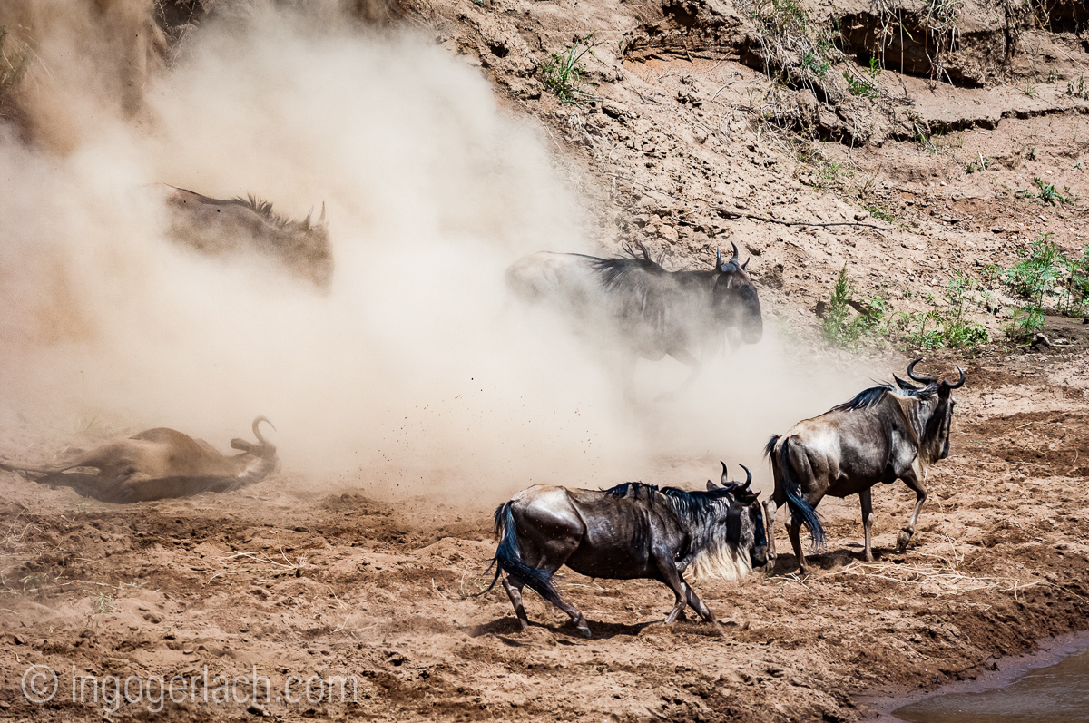 wildebeest jump to death_IWG4313