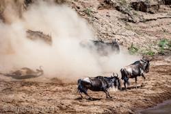 wildebeest jump to death_IWG4313