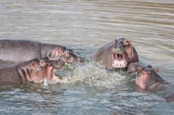 Hippos palavern_D3X6706