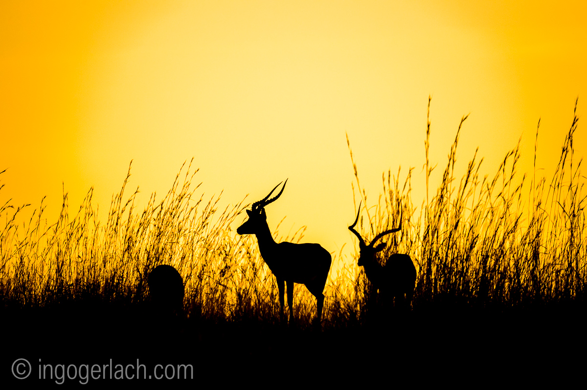 Impala at sunrise_D4N_2598