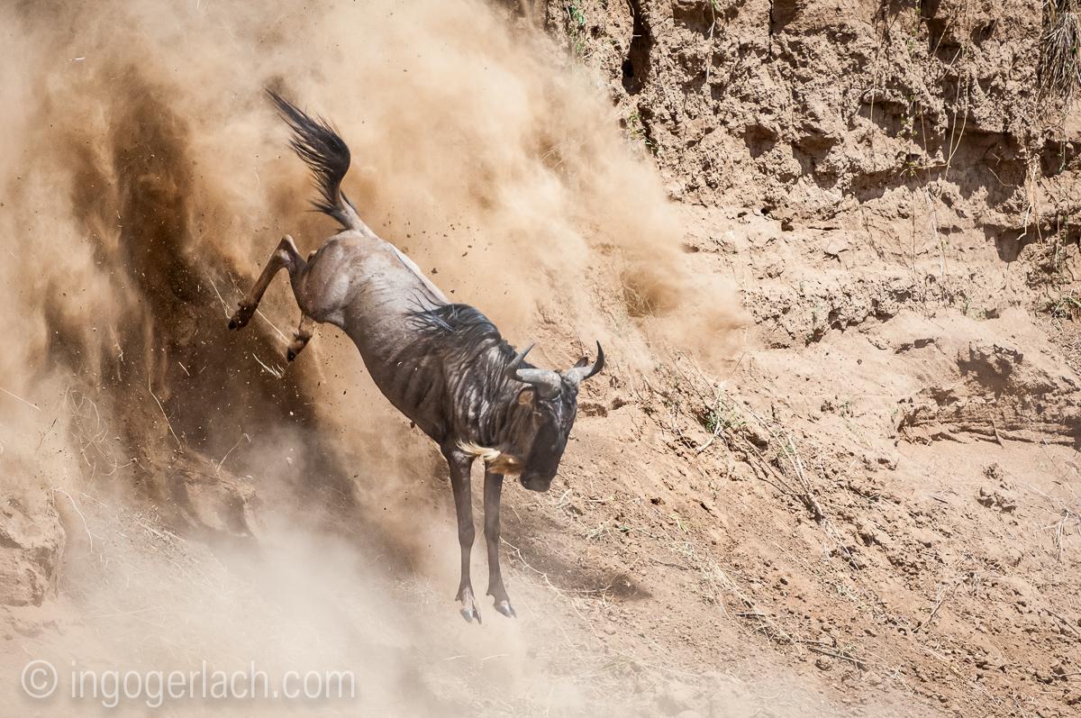 Gnu | Wildebeest_IWG4404