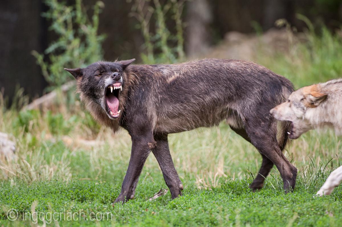 Timberwolf und Grauwolf_IGB8060