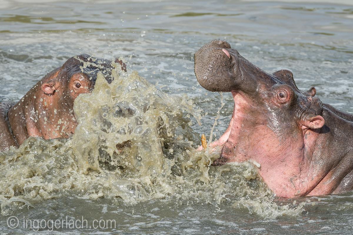 Hippos palavern_D3S7891