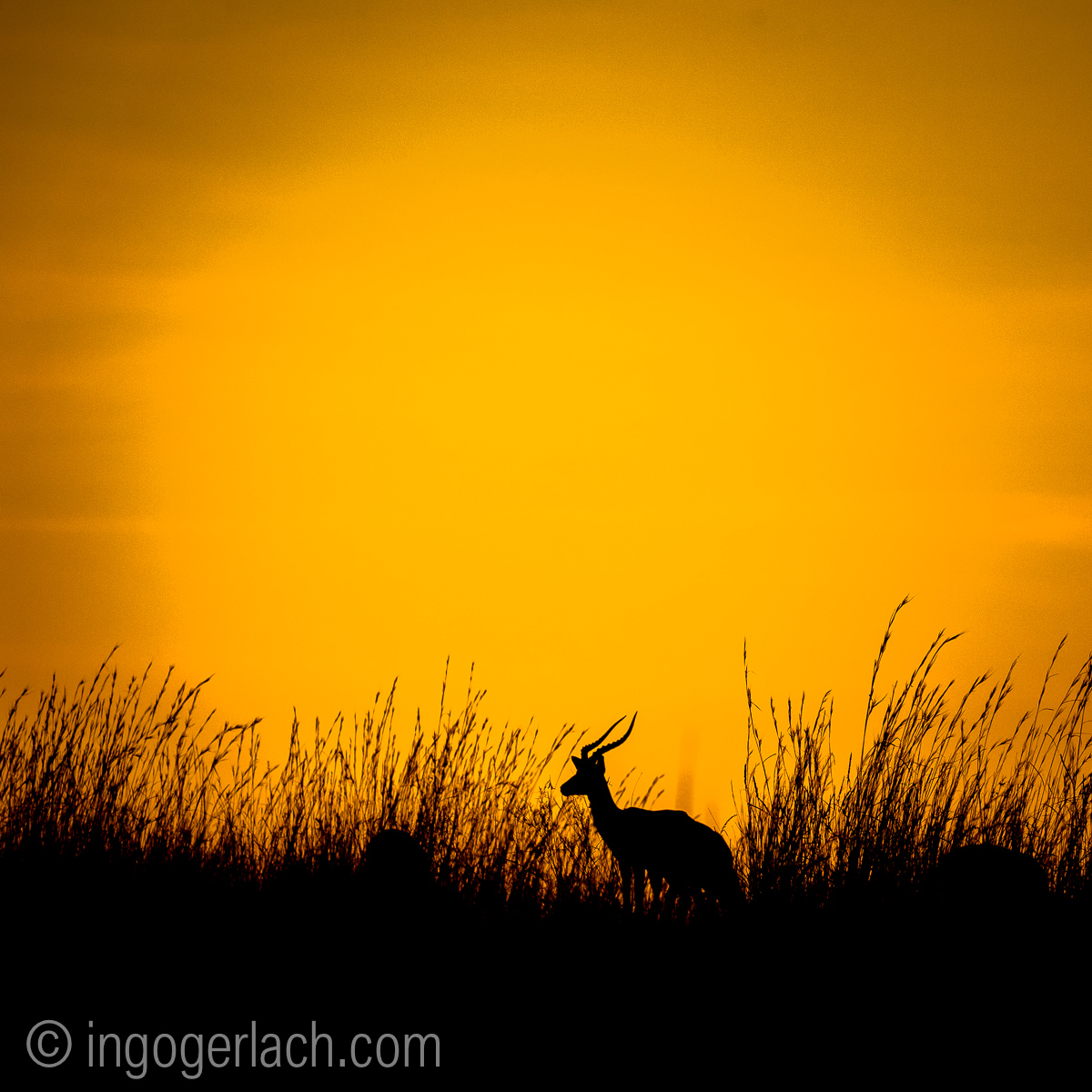 Impala at sunrise_D4N_2595