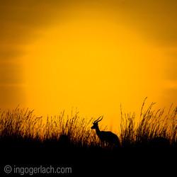 Impala at sunrise_D4N_2595