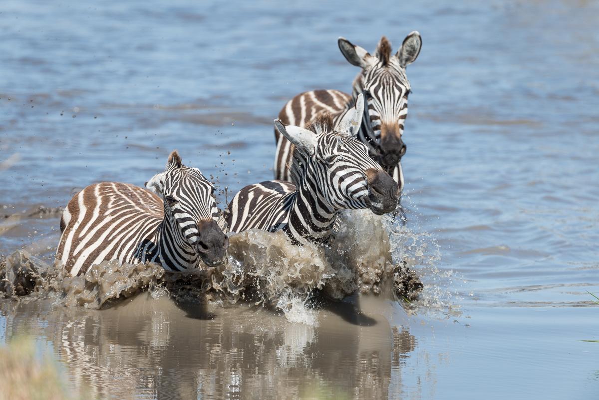 Zebras © Ingo Gerlach_D8N6351