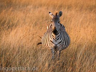 Schwangeres Zebra im Morgenlicht