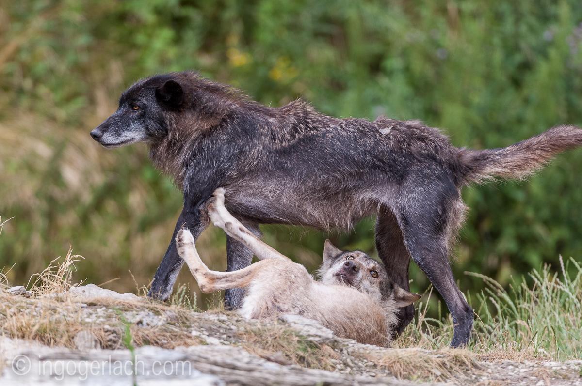 Timberwolf und Grauwolf_IGB8071